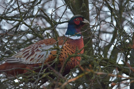 white necked: This is a view of pheasant on the branch