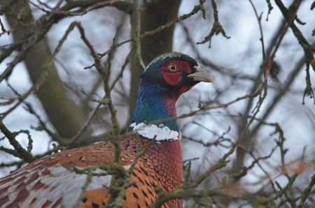 wildlife shooting: This is a view of pheasant on the branch