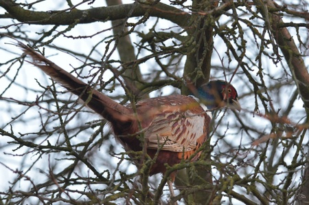 gamebird: This is a view of pheasant on the branch