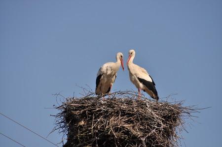 cicogna: Questa è una vista di due cicogne sul loro nido.