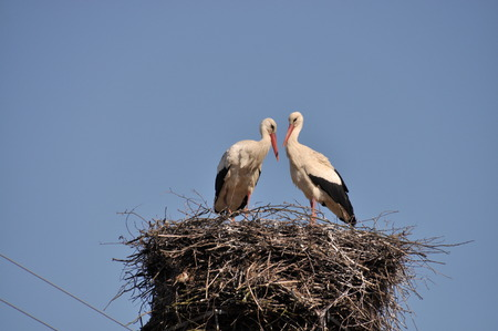 black stork: This is a view of two storks on their nest. Stock Photo