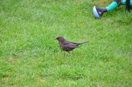 ordinary: This is a view of Ordinary Blackbird in the grass.