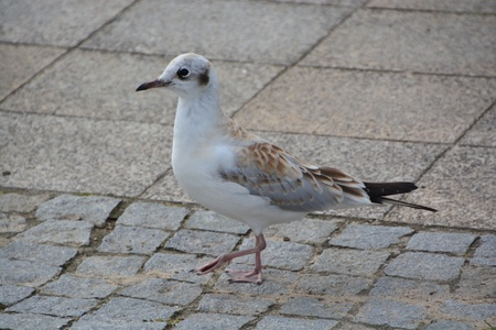 This is a view of seagull by the Baltic Sea. Stock Photo