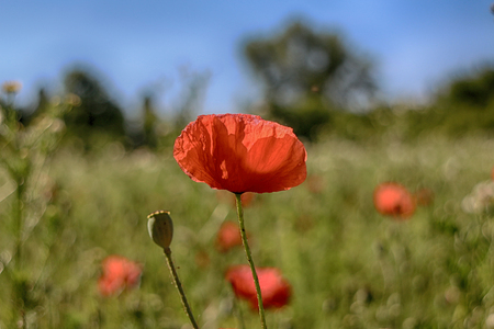 Close up of red poppy flower in spring