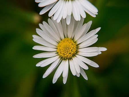 Daisy Flower macro , top view Stock Photo