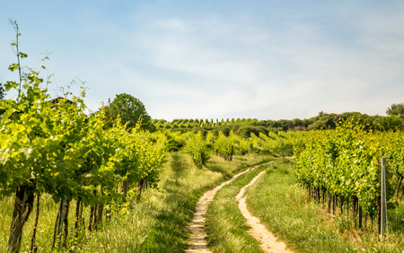 Vineyards of the city of Vienna