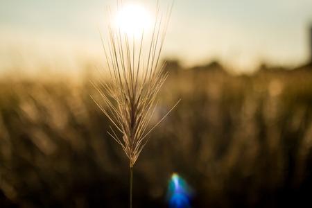 Rural landscape rye meadow at golden hour, natural light
