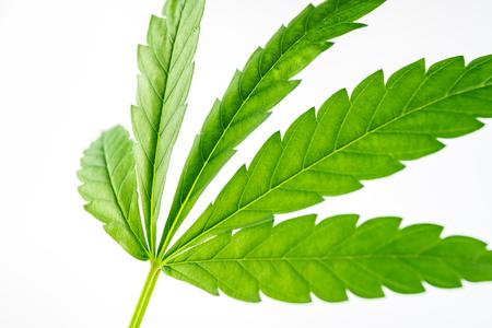 Close up of Green hemp, ganja leaf on white isolated background 免版税图像