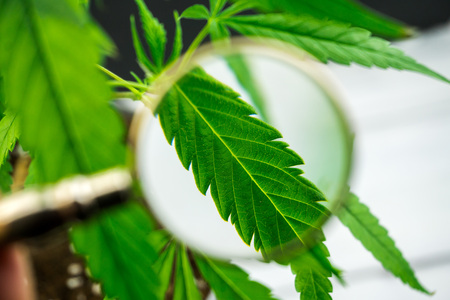 Person looks at medical marijuana plant with magnifier. Cannabis plant growing indoor macro shot Stock Photo