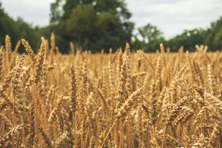 Wheat Barley field ears close up of grain in late summer