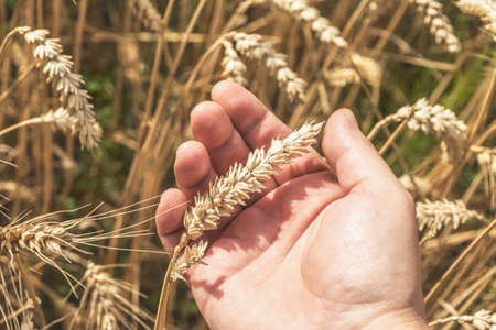 Young man holding wheat ears in the hand, harvest concept