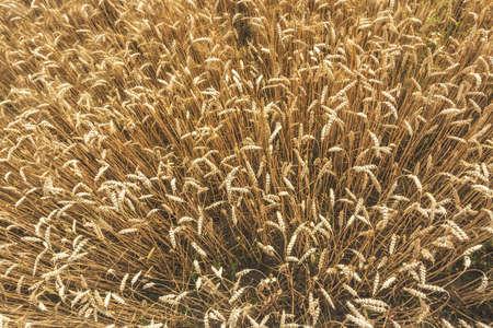 Overhead view of Wheat Barley field Ears in late summer
