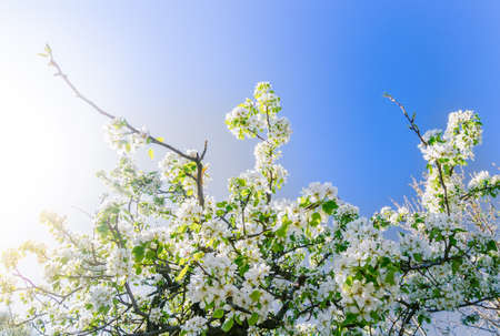 Blooming cherry branch at spring garden bright blue sky background.