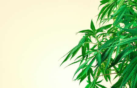 Indoor cannabis plant, branches of marijuana on a yellow background with copy space