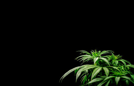 Cannabis plant against dark background with copy space, chiaroscuro effect 版權商用圖片