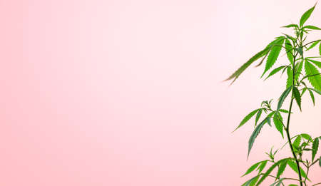 Indoor cannabis plant, branch of marijuana on a pink background