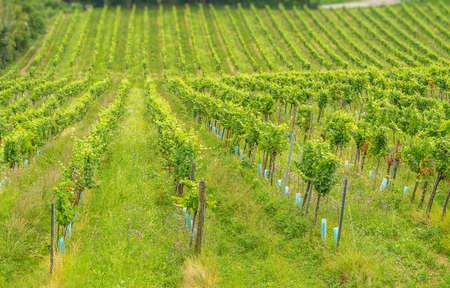 Selective focus of Vineyard in Summer from a hill