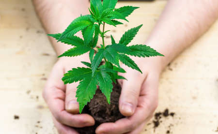 Hand holding pile of soil with Cannabis seedling prepare for transplant to larger pot