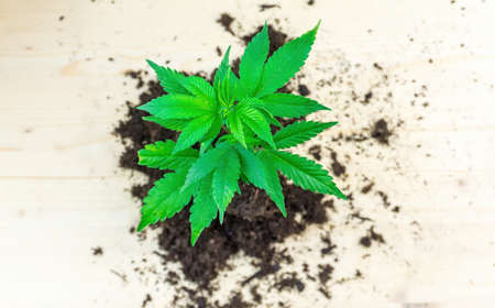 Pile of soil with cannabis sprout seedling Girl scout cookies strain on wooden table