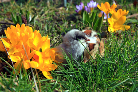 dominant: Green-legged Partridge Dominant And Blue Chicks in the garden with crocuses. Stock Photo