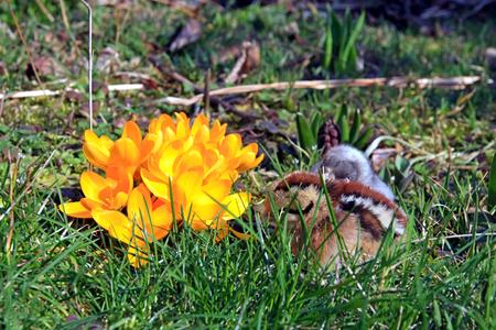 kuropatwa: Zielona nogami Partridge dominujące i niebieski Pisklęta w ogrodzie krokusy.