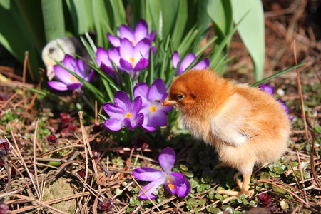 messa: Messa Chick in the spring garden with crocuses.