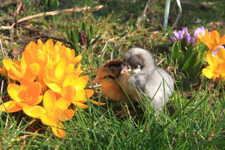 dominant: Green-legged Partridge And Dominant Blue Chicks in the garden with crocuses.