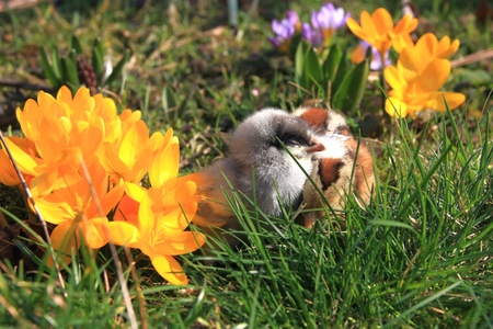 bloomy: Green-legged Partridge And Dominant Blue Chicks in the garden with crocuses.