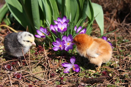 messa: Rosa V and Messa Chicks in the garden with crocuses. Stock Photo