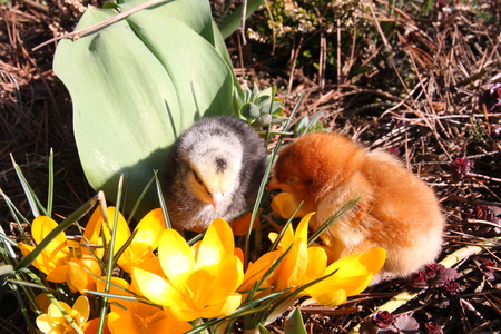 bloomy: Rosa V and Messa Chicks in the garden with crocuses. Stock Photo