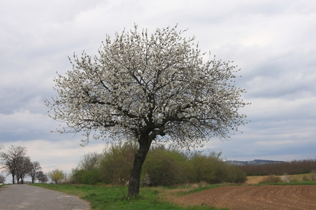 sour grass: Lonely sour cherry blooming next to the field on a cloudy day