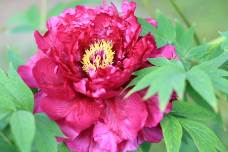 tree peony: Beautiful tree peony blooming Stock Photo