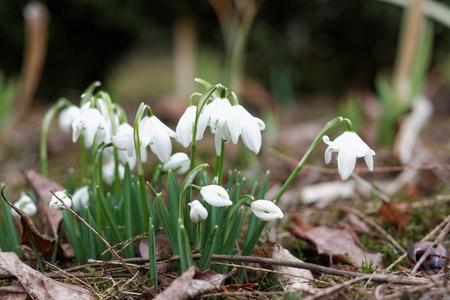 Snowdrops in a spring garden