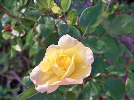 Gorgeous Yellow Rose Stock fotó