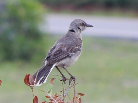 mocking: mocking bird outside my house