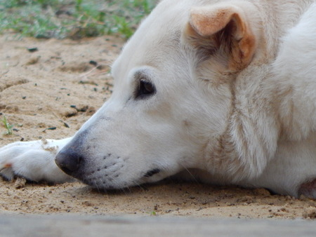 shepard: my dog chloe resting in the dirt while the boys play. Stock Photo