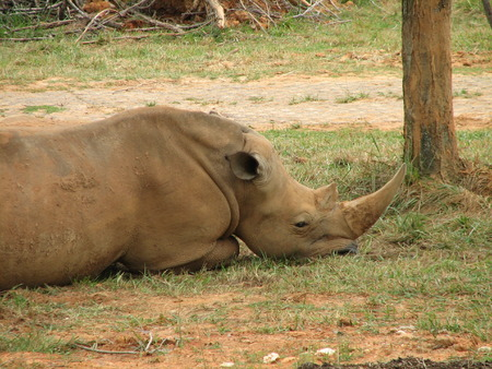 An African rhinoceros lying in the grass