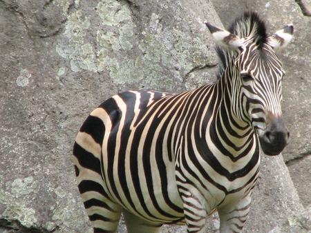 An African zebra