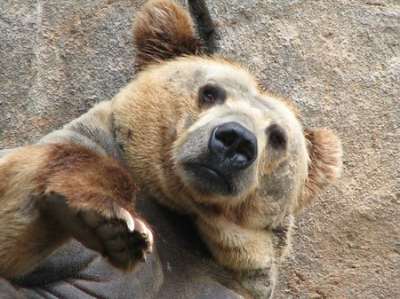 A North American grizzly bear looking at the camera