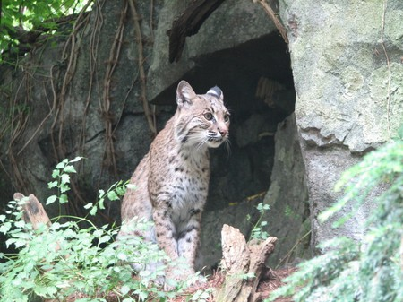 north american: Am�rica del Norte Bobcat