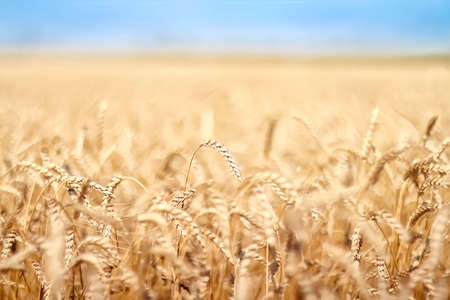 Rye, wheat.Wheat and rye fields. Golden nature. Rural landscapes under the shining sunlight. Ripening of rye and wheat ears. Rich harvest Concept. Selective focus. Blur effect