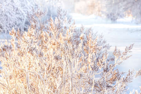 Beautiful snow-covered winter landscape. Shrub in frost on the background of the setting winter sun. Christmas landscape. Selective focus. Blurry background.