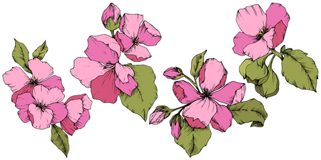 Vector Apple blossom floral botanical flower. Pink and green engraved ink art. Isolated flowers illustration element.