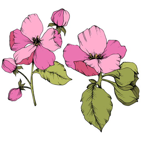 Vector Apple blossom floral botanical flower. Wild spring leaf wildflower isolated. Pink and green engraved ink art. Isolated flowers illustration element on white background.