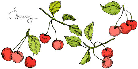 Vector Cherry fruit. Leaf plant botanical garden floral foliage. Red and green engraved ink art. Isolated berry illustration element on white background.