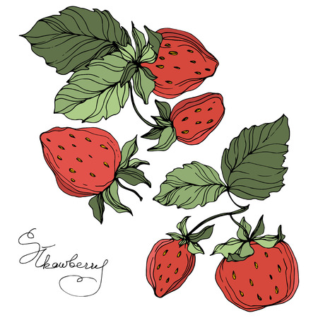 Vector Strawberry fruits. Green leaf. Leaf plant botanical garden floral foliage. Red and green engraved ink art. Isolated strawberry illustration element.