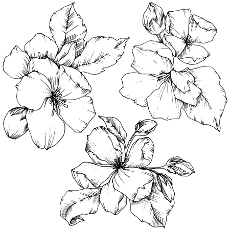 Vector Apple blossom floral botanical flower. Wild spring leaf wildflower isolated. Black and white engraved ink art. Isolated flowers illustration element on white background. Иллюстрация