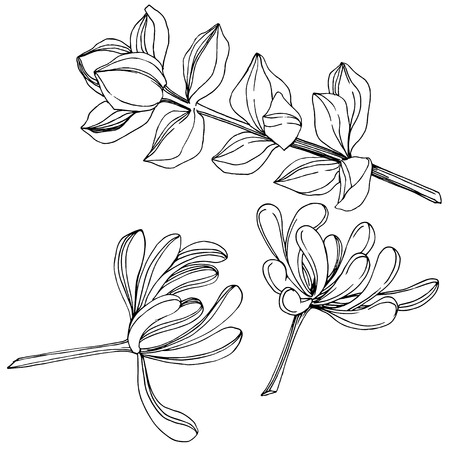 Vector Succulent floral botanical flower. Wild spring leaf wildflower isolated. Black and white engraved ink art. Isolated succulents illustration element on white background.