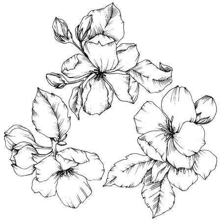 Vektor Apfelblüte botanische Blumenblume. Wilde Frühlingsblatt Wildblume isoliert. Schwarz-weiß gravierte Tinte Art.-Nr. Getrenntes Blumenillustrationselement auf weißem Hintergrund. Vektorgrafik