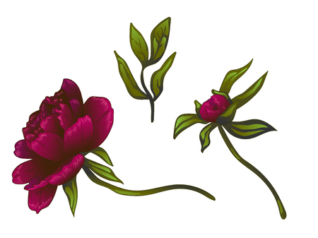 Vector Burgundy peony floral botanical flower. Wild spring leaf wildflower isolated. Engraved ink art. Isolated peonies illustration element on white background.